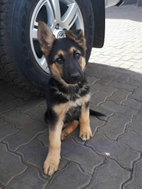 Gorgeous German Shephard puppies for sale : Female