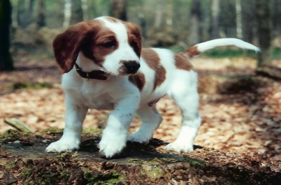 Welsh springer puppies