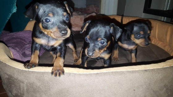 Pure bred Miniature Doberman Pinchers
