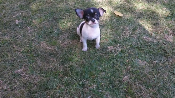 Beautiful Small Registered Chihuahua girl
