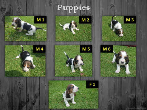 Pure Bred Basset Hound Puppies