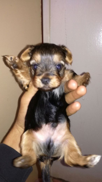 BEAUTIFUL TRADITIONAL YORKIES FOR SALE