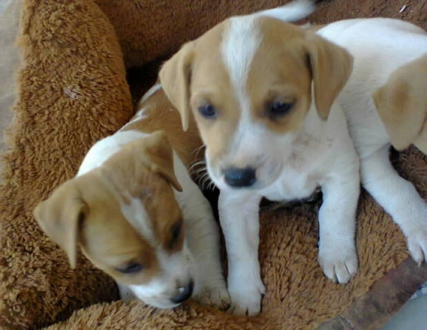 Jack Russell 8 weeks well breed short leg puppies for R1999