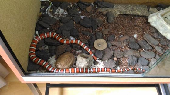 Arizona Mountain King snake