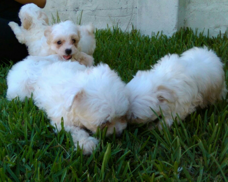 Maltese Poodle puppies for sale