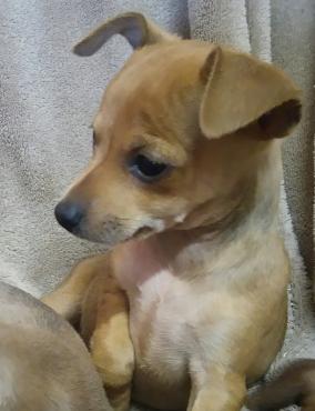 Min Doberman Pincher Puppies