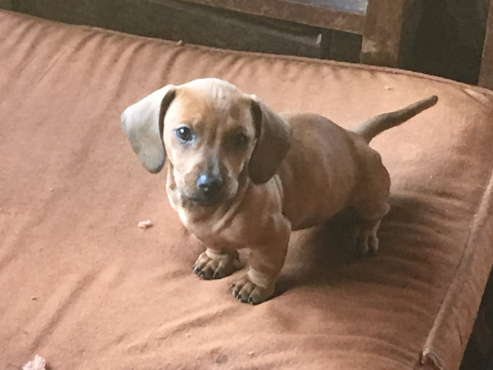 Dachshund pups for sale