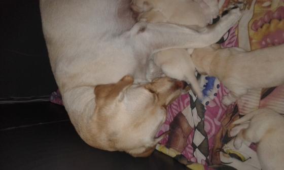 Pedigree Labradors