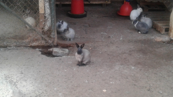 Jersey Wooly rabbits Pretoria East (near Graham Road)