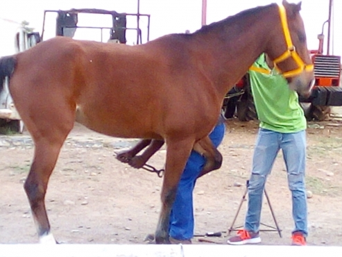 Lovely Arab geding, 15.5h, 6yrs. Broken and ready for training