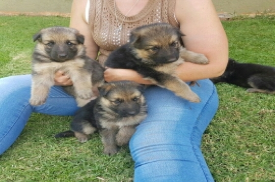 Black and Tan German Shepherd puppies