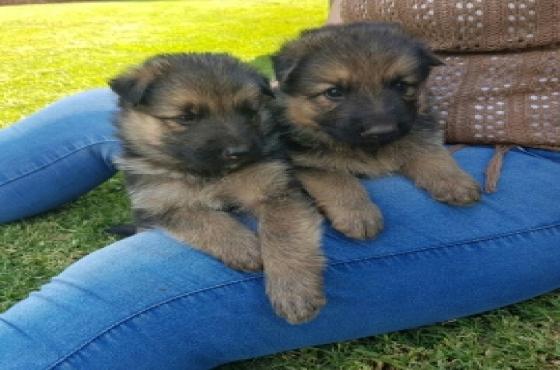 Black and Tan German Shepherd puppies