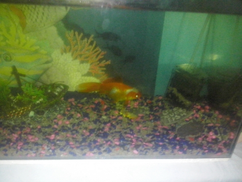 large goldfish and tank 4 sale