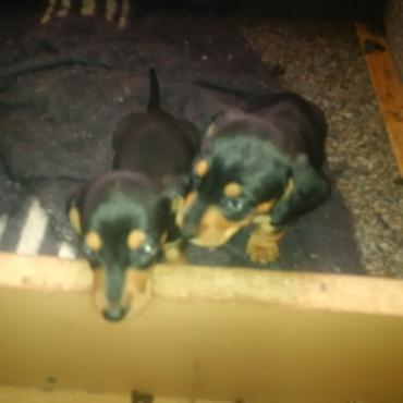 Worshond pupies te koop