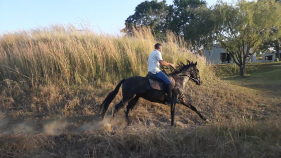 Registered Boerperd gelding