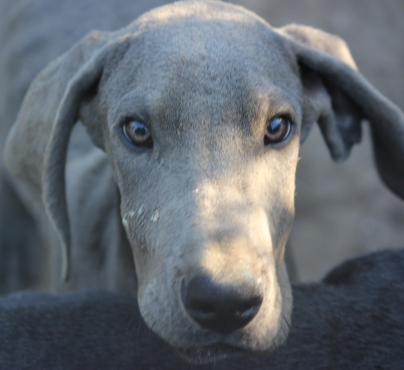 Registered Blue Great Danes