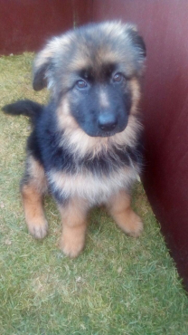 Lovely Federation registered German Shepherd puppies available