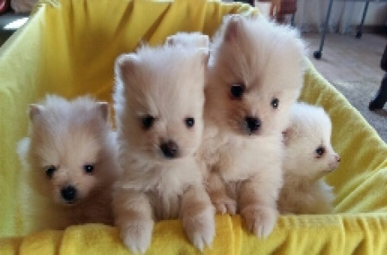 Pomeranian pups registered small size