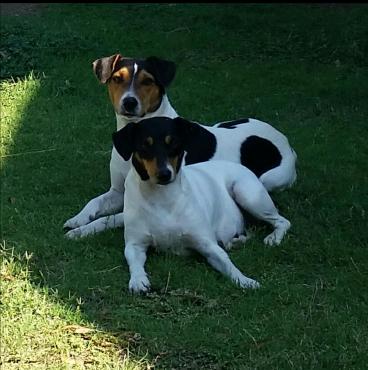 Long leg  Foxterriër puppies