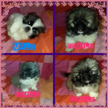 4 pekingese puppies for sale