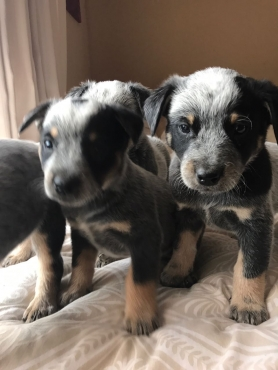 Australian cattle dogs.. 5 males .. 2 females.. born 27 April.. dewormed and inoculated.. R2000.. Ke