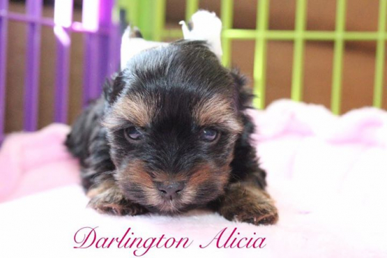 Yorkshire Terrier (Yorkie) Puppies Registered