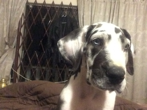 Great Dane Male Harlequin