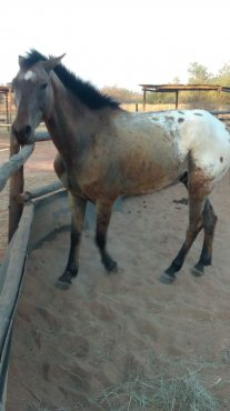 Appaloosa gelding for sale