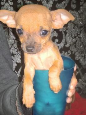 Chihuahua / Miniature Pinscher (bokkie hondjie)