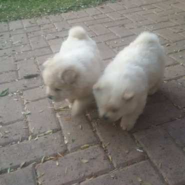 adorable pure bred white chow puppies