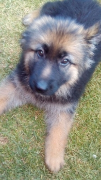 Gorgeous Federation registered German Shepherd puppies