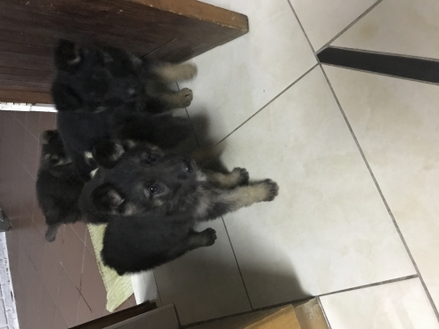 Pure German shepherd pups