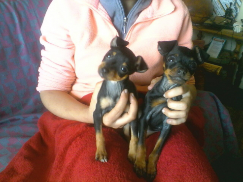 miniture doberman pinchers