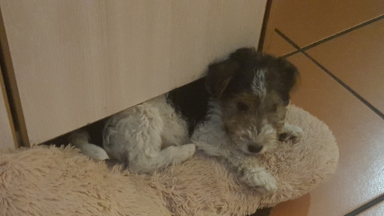 Wirehaired Terriers