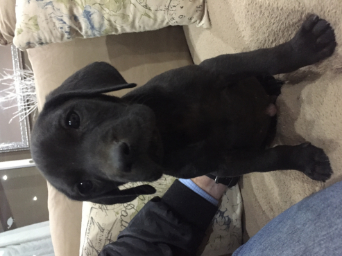 Weimeraner/ great dane puppies for sale