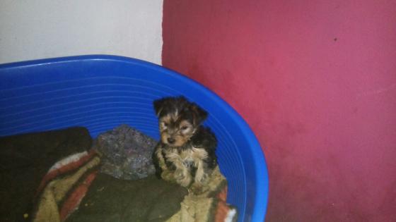 Yorkie male pups