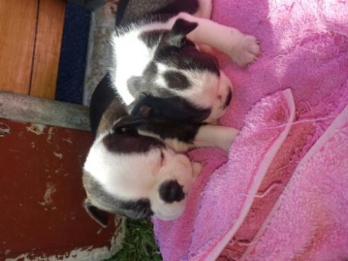 Beautifull     Boston    puppies