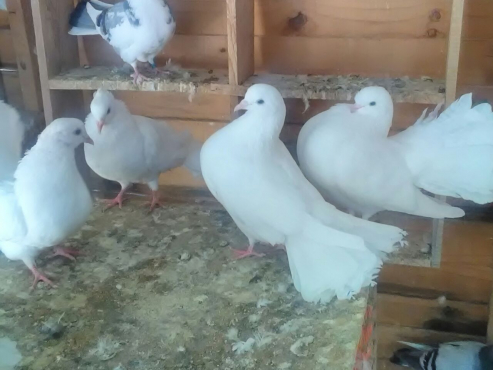 Fantails and Pigeons For Sale From R50
