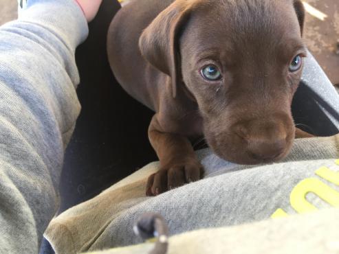 Weimeraner/ great dane puppies for sale