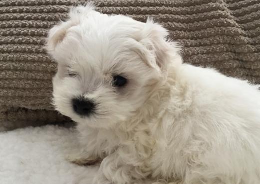 Gorgeous Reg Maltese Puppies