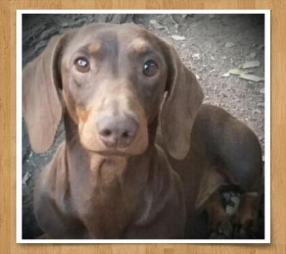 Worshondjies/Dachshunds Chocolate brown