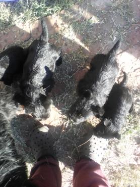 Scottish terrier/ skotse terrier