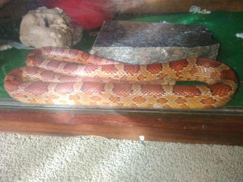 Corn Snake pair