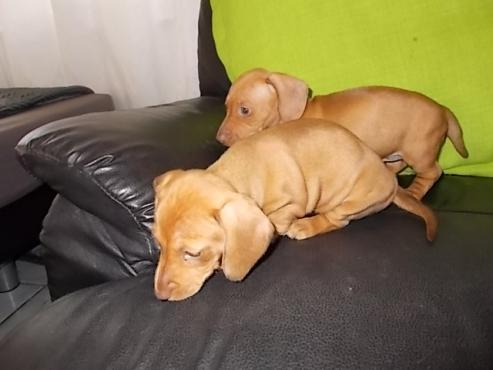 SAUSAGE DOG PUPPIES