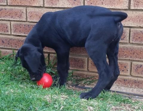 Black Great Dane male puppie for sale, German Bloodline, purebred.