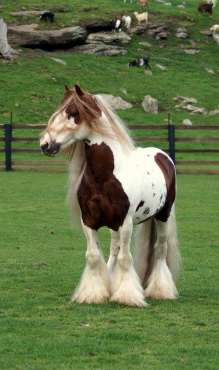 Karlio Semi Long Haired Male and Female gypsy horses