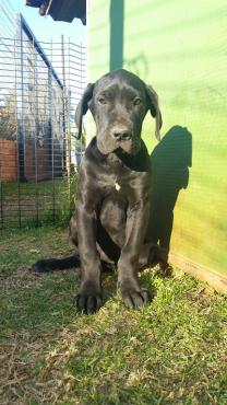 German Boodline Great Dane black male puppy for sale
