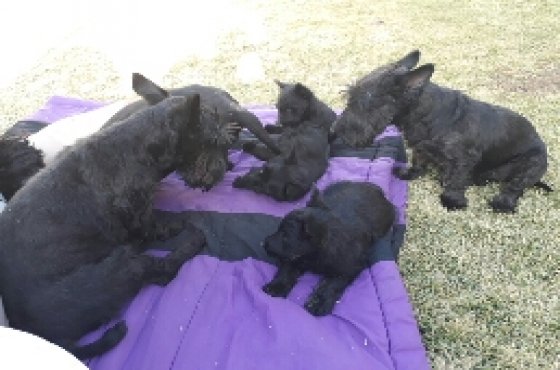 Scottish Terriers 4 Sale 3 LEFT