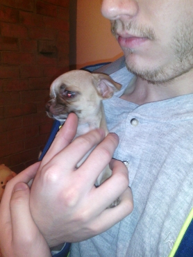 Chihuahua Male Puppy For Sale