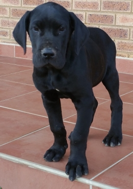 Black Great Dane male puppie for sale, German Bloodline, purebred.